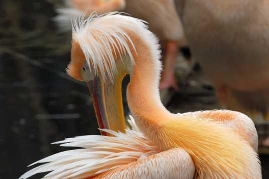 鹈鹕科的粉红背鹈鹕图片