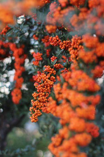 红色火棘果树图片