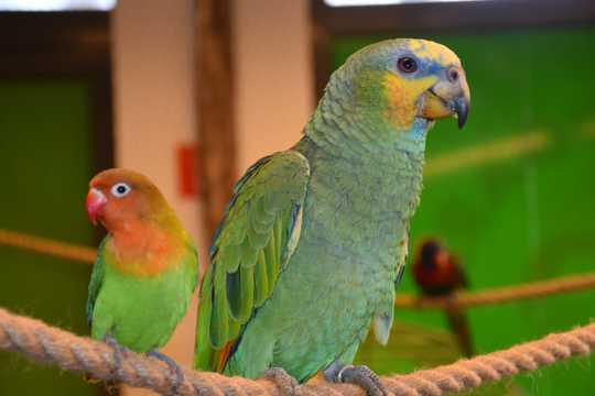 萌宠亚马逊鹦哥图片