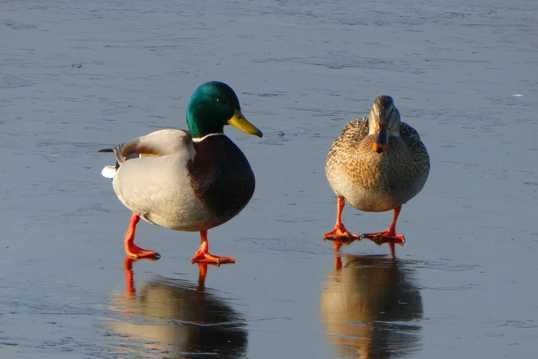 绿头鸭麻鸭图片