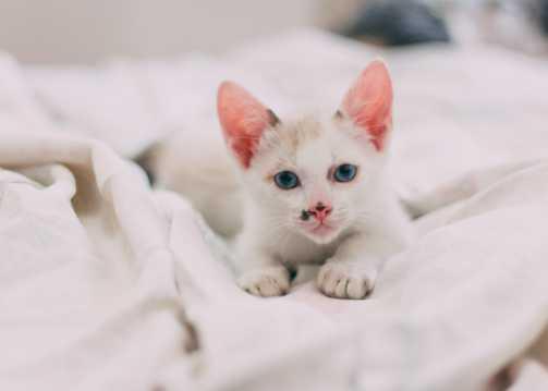 可人呆萌白色幼猫图片