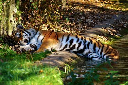 慵懒的老虎图片