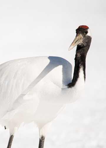 白色丹顶鹤图片