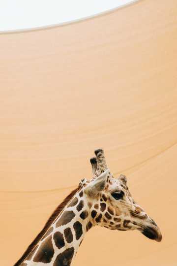 乖巧长颈鹿图片