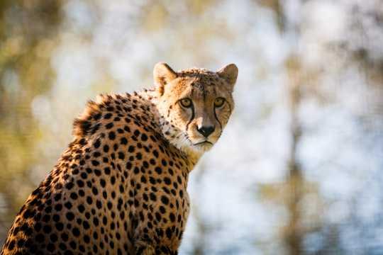 动物园里的猎豹图片