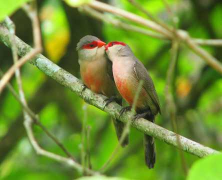 接吻鸟图片