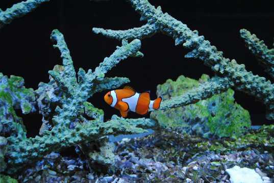 欣赏小丑鱼图片