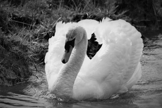 大白鹅黑白图片
