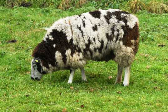 绵羊低头吃草图片