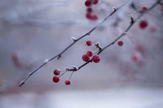 红梅映雪图片