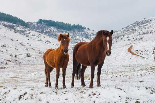 雪地里的马图片