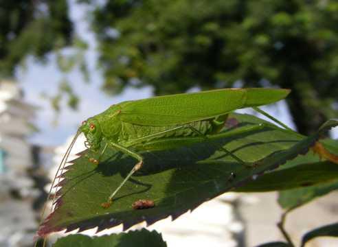绿色透亮蚱蜢图片