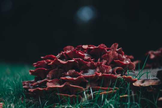 红色毒菌菇图片