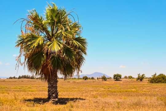 一颗棕榈树图片