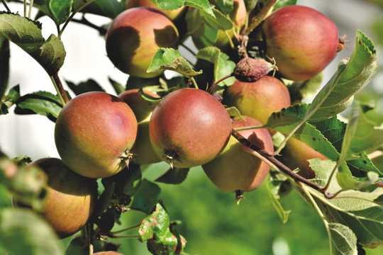 苹果树长满苹果图片