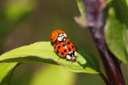 红色小小的瓢虫图片