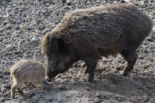 一头野猪图片