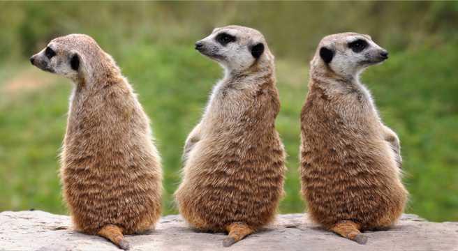 三只猫鼬图片