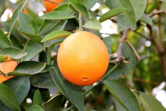 柑橘品种图片