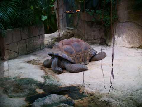 塞舌尔老乌龟图片