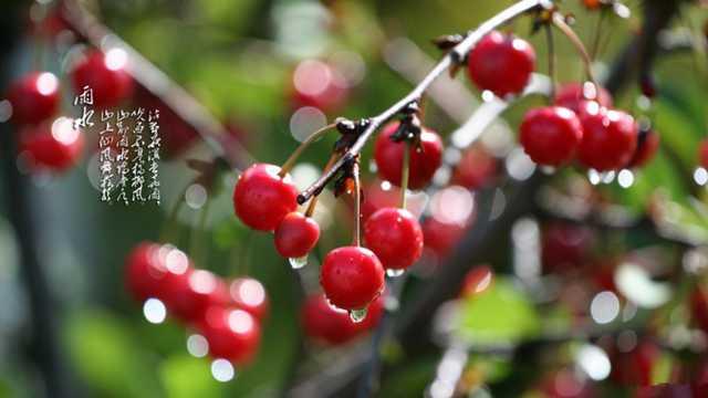 树上的樱桃图片