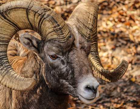 螺旋状大角的大角羊图片