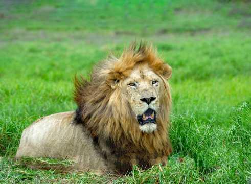 趴在草原上的母狮子图片