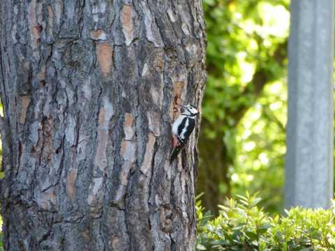 树林医生之大斑啄木鸟图片
