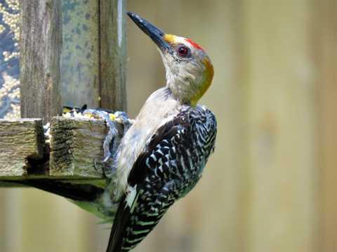 大斑啄木鸟高清图片