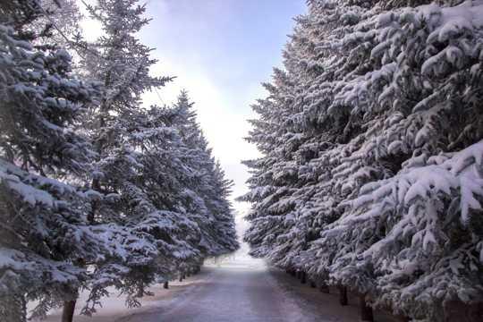 云杉雪景图片