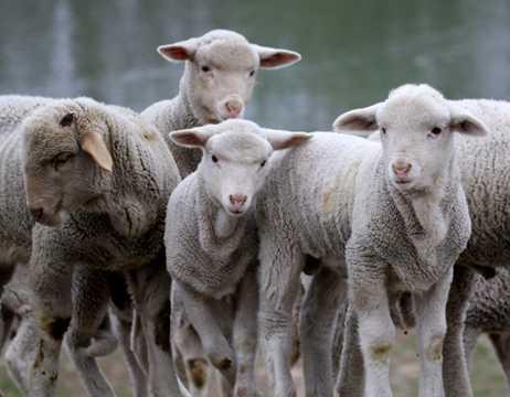 小绵羊群图片