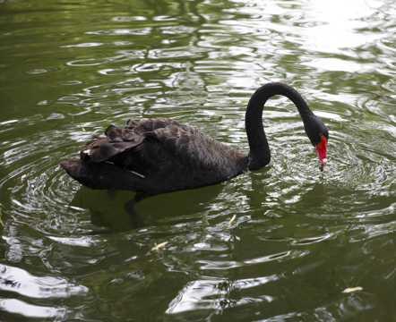 黑天鹅游泳图片