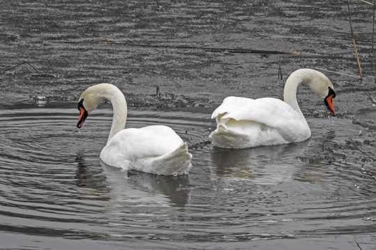 水中两只白天鹅图片