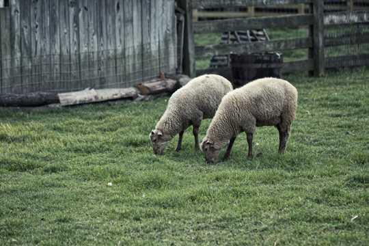 绵羊吃草图片