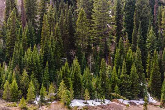 野生松森林图片