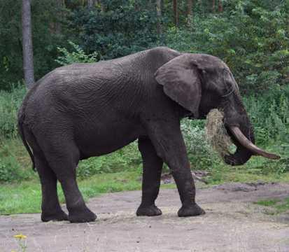 一只野生大象图片