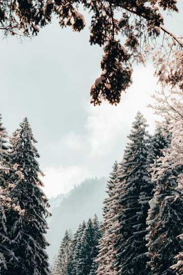 冬天雪松树木图片