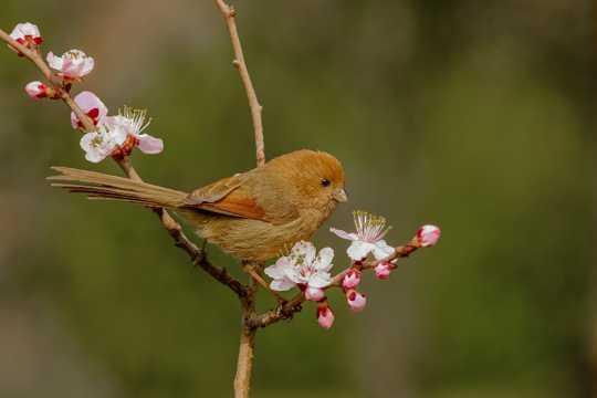 桃花树上的棕头鸦雀图片