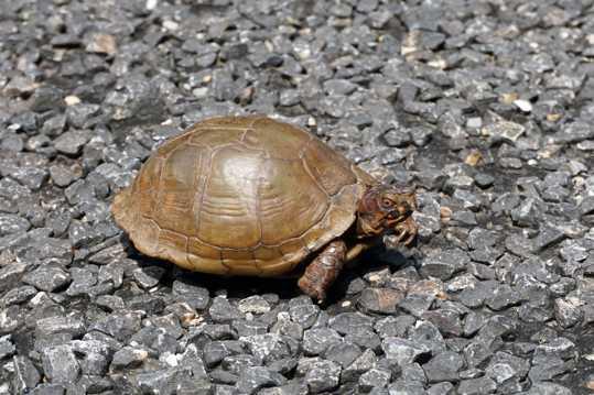 石子上的乌龟图片