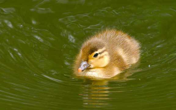 乖巧的小鸭子高清图片