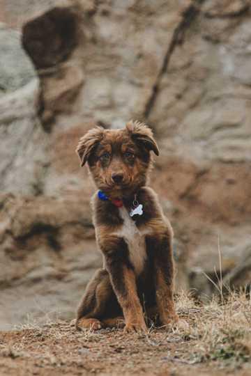 深棕色小狗图片