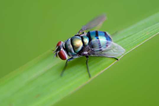 绿色苍蝇图片
