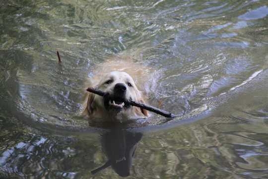 成年金毛猎犬图片