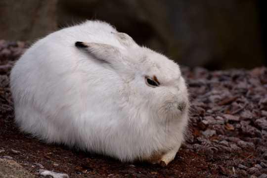 大白兔子图片