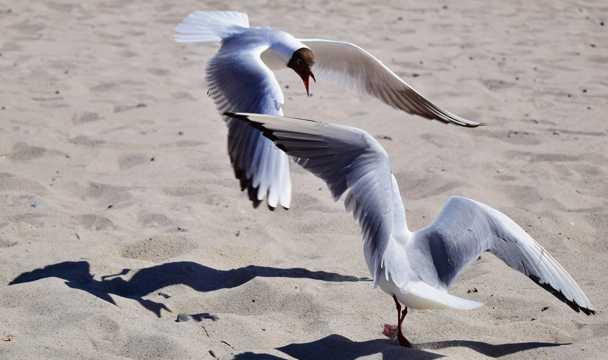 海滩上嬉戏海鸥图片