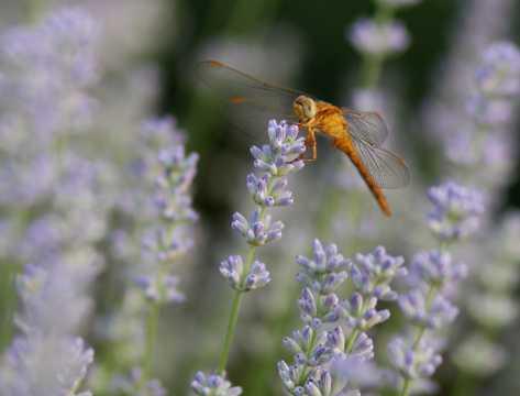 薰衣草上的蜻蜓图片