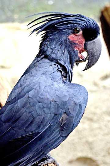 棕榈凤头鹦鹉图片