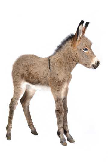 高清驴的图片下载
