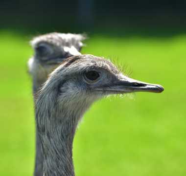 灰色羽毛的鸵鸟图片