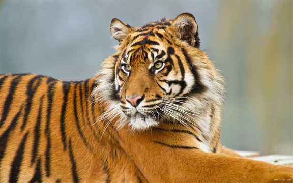 苏门达腊虎图片